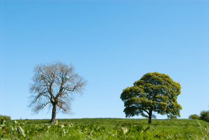 A pair of trees on a pristine meadow, one dead the other alive. Concept shot for resiliance, endurance, strength, survival